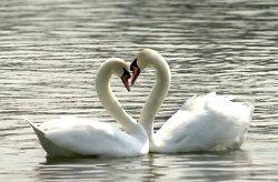 Лебединая верность - символ вечной любви