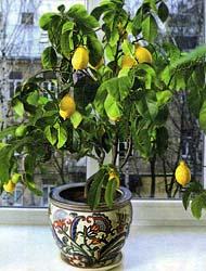 Лимон - уход в домашних условиях принесёт