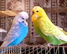 Волнистые попугайчики. Фото.